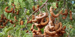 In the current year, the tamarind yield dropped from Maharashtra to 200 tonnes