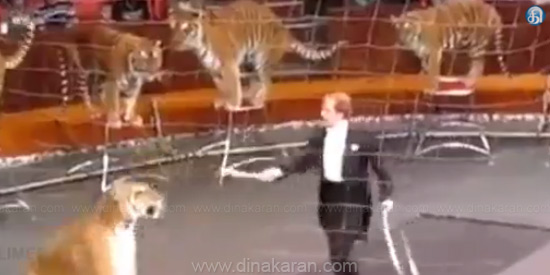 The lion's submissive lions and the Tigers: The audience is ecstatic