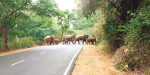 The last elephants in the Hogenakkal road: tourists panic