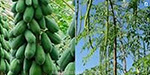 Nut under the National Agricultural Development Program, Murugan and Papaya will be grown in Anganwadi Center: Collector Information