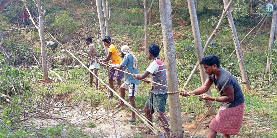 Farmers throwing stubble rubber trees