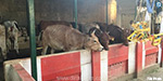 Carelessness Cows In Temple Cows Increase Death: Inspection of Monitoring Camera