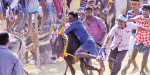 Manjuvittu near Thirumayam: 150 bulls participation