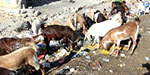 Drought, severe drought in the summer sun, grazing cattle helplessness nilankalinri