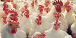 Less consumption Reduction of BROILER production
