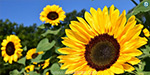 Why Sunflower Flower Return To The Sun?