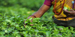 In Coonoor, Kotagiri decided to destroy 2 lakh kg of tea