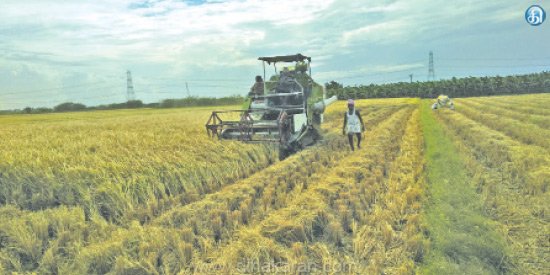 Thoothukudi District Threatens to Damage: Paddy Harvest Work