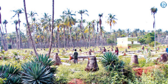 Coconut farming on the verge of extinction due to heavy drought