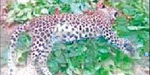 Leopard Died near satyamangalam while crossing the road