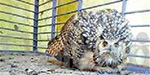 In the rare owl Caught in Gudiyatham: handed over to the Forest department