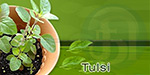 basil leaf as cure for Sore throat