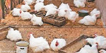 Sun Blazing in AP, 70 million chickens in death in Telangana; loss of Rs 100 crore