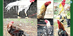 National Exhibition in Dindigul : Rooster won Gold Coin