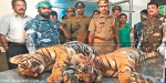 Elephants in the Periyar sanctuary 2 tiger cubs die in attack