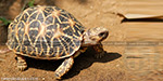 64 Star tortoises seized smuggling to Malaysia