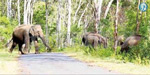 elephants walking on the road in broad day time at Timpam - talamalai