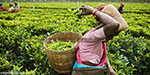 75% tea powder Auctions in Coonoor auction center