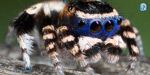 Newly discovered species of peacock spider is a masked seducer