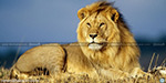 Lion as national animal? Central panel discusses idea