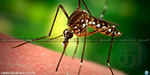 Ominous statistics  small deadly fever mosquito