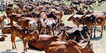 Cows sold at throwaway prices