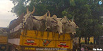 Karnataka 314 cows in the recovery of abducted: police batons on traders