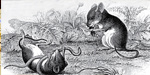 Easy tips yo kill rats which is destroying the paddy