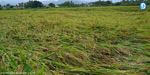 4th day of rain spoiled the 7,500-acre rice crop