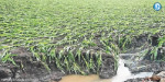 rain continues across tamilnadu  lakhs  of acres of crops sinked