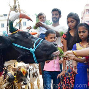 Pongal is the best day to thank the cow