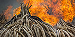 105 tons of elephant tusks burnt inorder to stop poaching