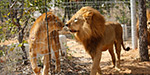 33 lions tortured in circus rescued