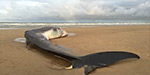 Giant 40ft fin whale washes up dead on a beach in Norfolk becoming the latest casualty in a spate of strandings from the North Sea