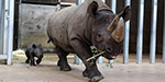 An endangered black rhino has given birth to an 80-pound female at Blank Park Zoo