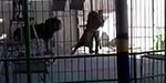 Horrifying moment animal tamer is fatally savaged by a lion in front of screaming audience at Egyptian circus