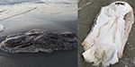 What is this mystery sea creature Bizarre grey blob washes up on a beach leaving the internet baffled