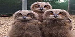 Baby owls bop their heads and 'dance' in bizarre but adorable photo