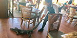 Fearless French waitress drags a giant lizard out of an Australian restaurant by its tail after it wandered in looking for food