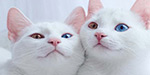 Twin cats in Russia each have one normal and one bright BLUE eye because of rare genetic condition