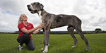 Is this the world's tallest dog? SEVEN FOOT Great Dane who weighs 12 stone