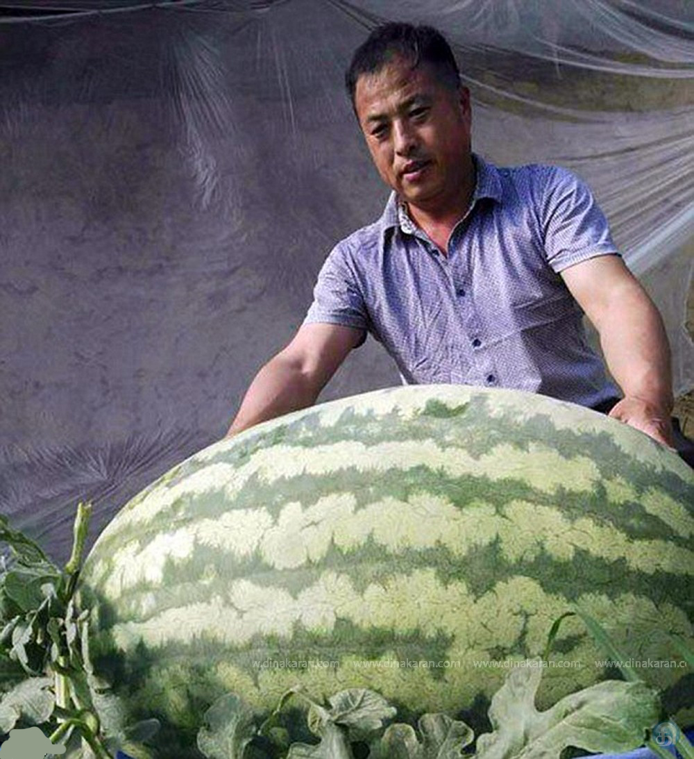 Bilderesultat for giant watermelon in taiwan