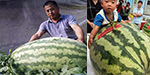 Farmer crowned 'melon king' after cultivating enormous fruit weighing 176 POUNDS