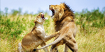 Fight with other animals, bloody meals - Lion's day to day life explained by these pics