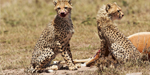 Mother cheetah shows off her superb hunting skills as she teaches her cubs how to take down an impala