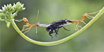 Hungry ants each try to pull poor fly away from one another so they can have it for dinner