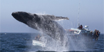 Spectacular moment whale poses for pictures by leaping from sea just feet from two boats