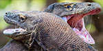 Two enormous Komodo dragons have been filmed locked in a dramatic battle.