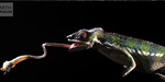Chameleon releases its tongue twice than a body height for attacking its prey