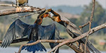 Darter bird forces its head into mother throat to capture its food